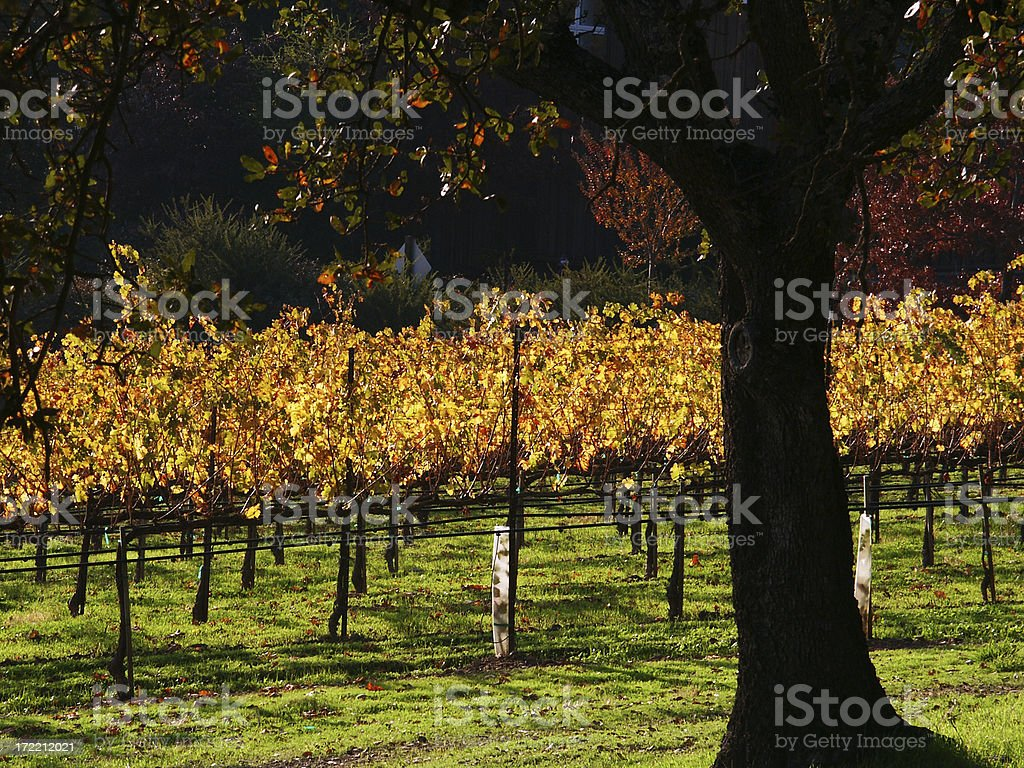 Napa in autumn - closeup royalty-free stock photo