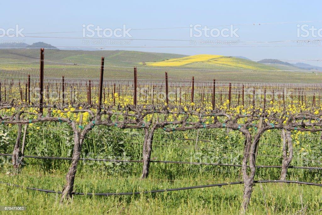 Walking amongst the vineyards of Napa Valley, California.