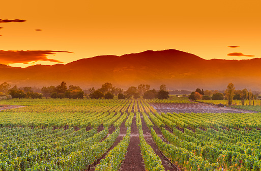 Napa Valley wine country mountain hillside vineyard growing crops for grape harvest and winery winemaking. Rows of lush, green grapevines ripen in cultivated agricultural farm fields glowing in sunset.