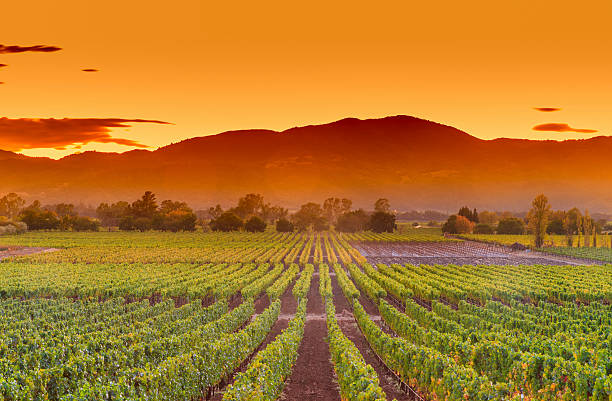 napa valley california wine country vineyard field harvest for winery - valley stock pictures, royalty-free photos & images