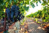 Vineyard and Cabernet Sauvignon grape cluster