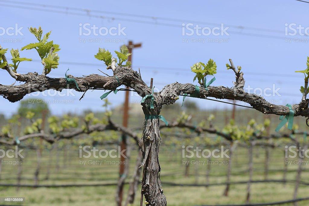 Napa Valley Grapevine Close Up royalty-free stock photo