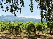 The gorgeous and luscious green vineyards of Napa Valley wineries