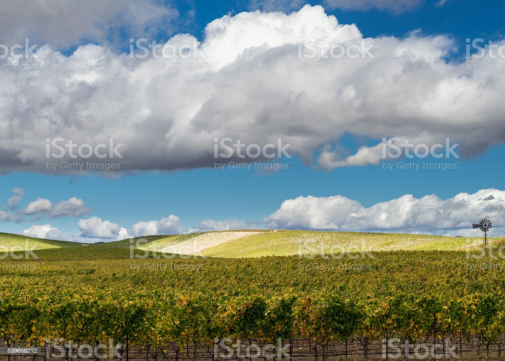 Napa Valley vineyard with white puffy clouds and blue sky stock photo