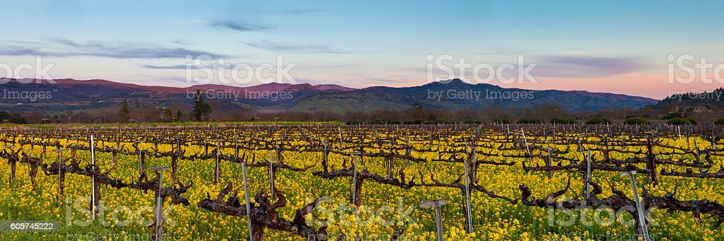 Napa Valley wine country panorama at sunset in winter stock photo