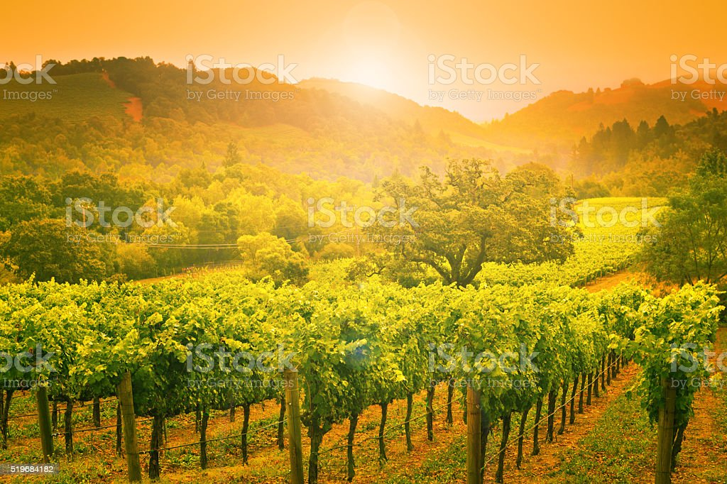 Napa Valley Winery Vineyard Grapevines Crop at Sunset in California stock photo