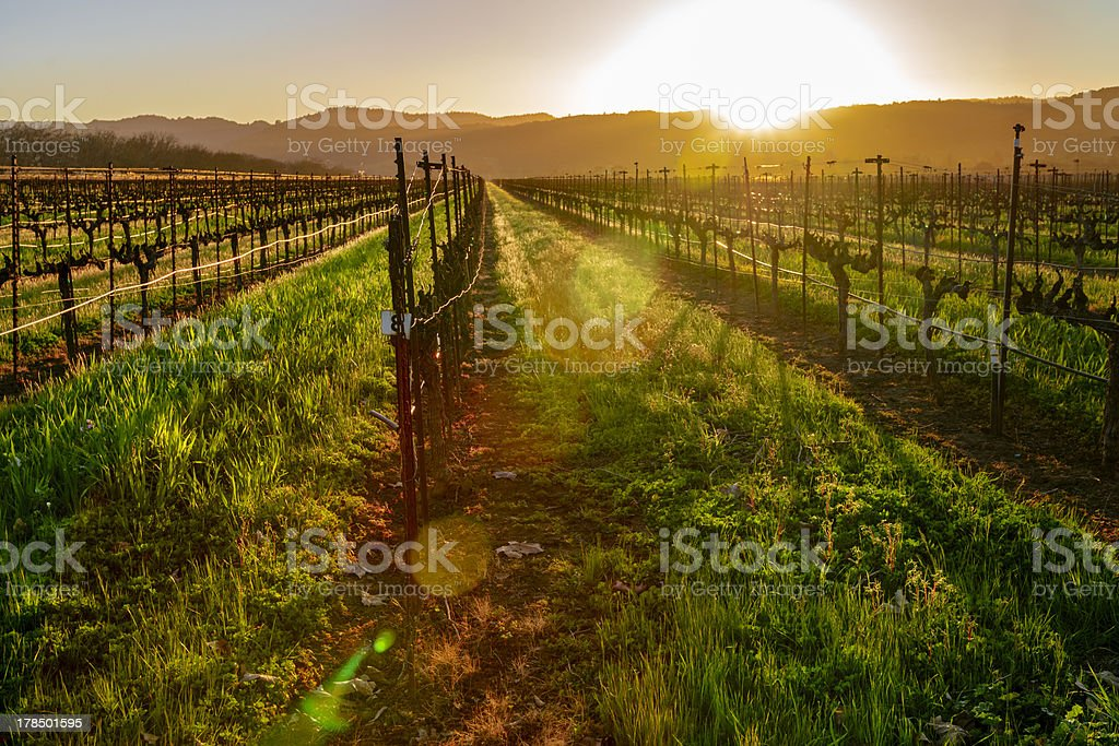 Napa Vineyard stock photo