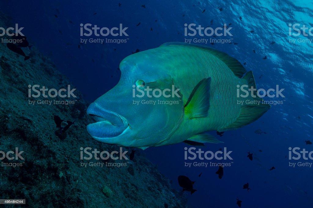 Napoleon Fish - Palau, Micronesia stock photo