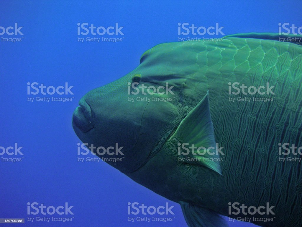 Napoleon Fish royalty-free stock photo