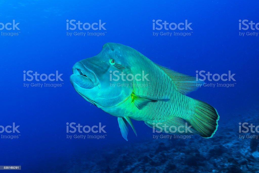 Napoleon Fish stock photo