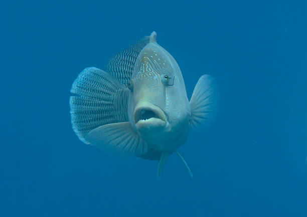 Napoleonfisch  swimming under water surface of Bali stock photo