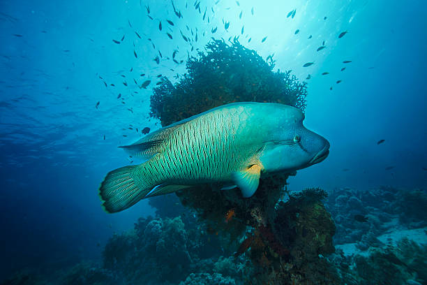 Napoleonfish Underwater  sea life - coral reef. Napoleonfish ( Cheilinus undulatus, Humphead wrasse )  fish,  deep in tropical sea.  indo pacific ocean stock pictures, royalty-free photos & images