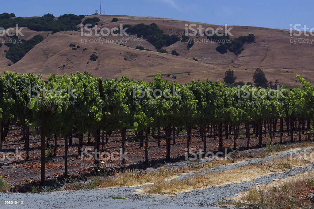 Nappa Valley Grape vines photo libre de droits
