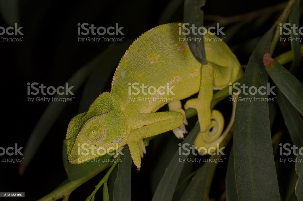 Napping green Chameleon clinging to green leafy twig stock photo