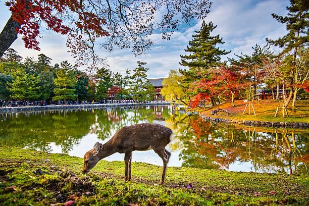 奈良鹿 - 寺院 ストックフォトと画像