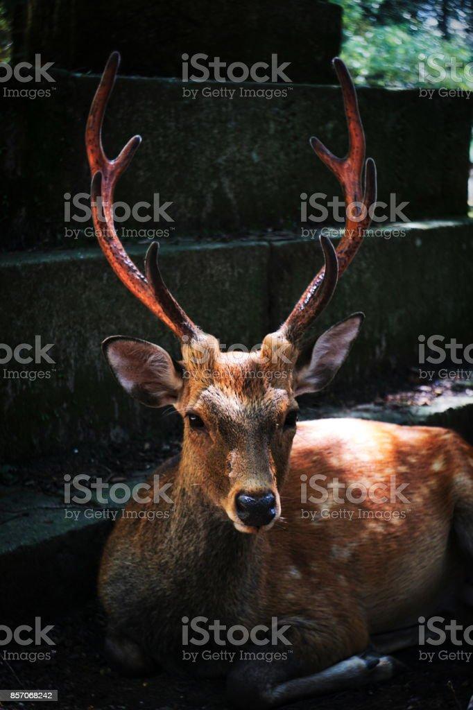 Nara deer stare stock photo