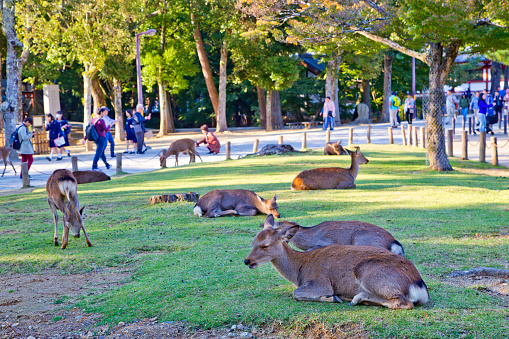 Nara deers and tourists at Todaiji temple in Nara, Japan
