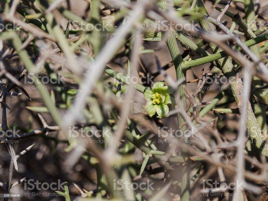 !Nara flower between thorns stock photo