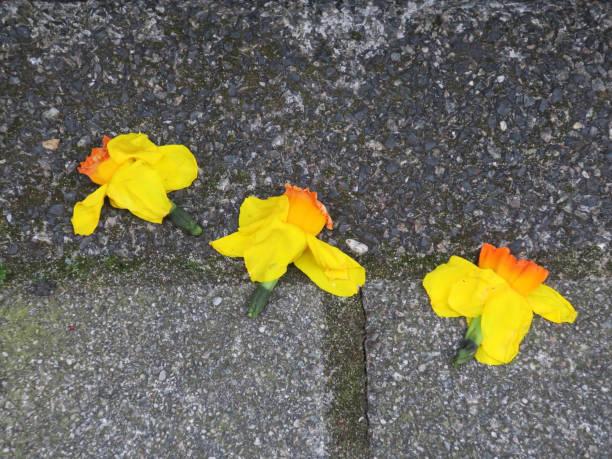 narcisme of drie gele narcissen of narcissen die op de stoep leggen foto