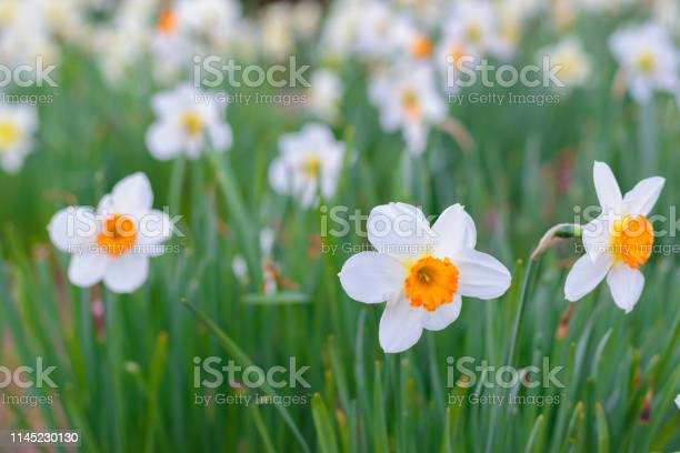 Photo of Narcissus Barrett Browning (Small cupped daffodil) flowers
