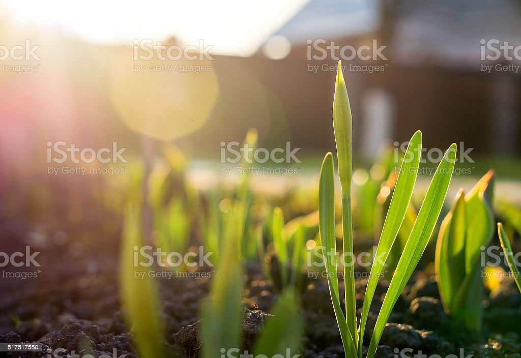 Narcissus bud on the flower bed stock photo