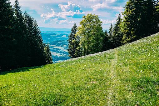 Narcissus Field in Blonay, Switzerland