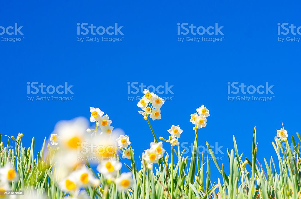 narcissus flower at hota area chiba,tourism of japan stock photo