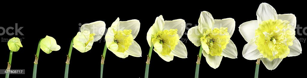 Narcissus flower blooming over black background royalty-free stock photo