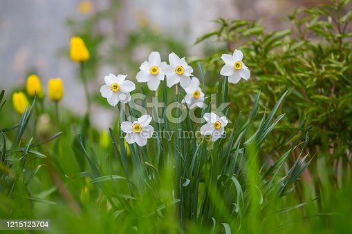 istock narcissus flower bush in a green grass 1215123704