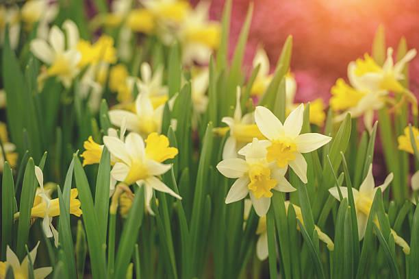 Narcissus Blume – Foto