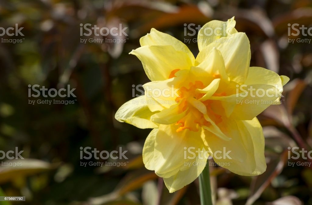 Narcissus flower. stock photo