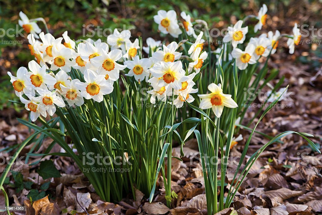 narcissus flowers. royalty-free stock photo