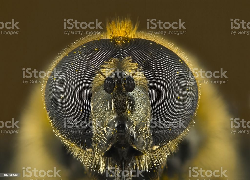 Narcissus Fly (Merodon equestris) royalty-free stock photo