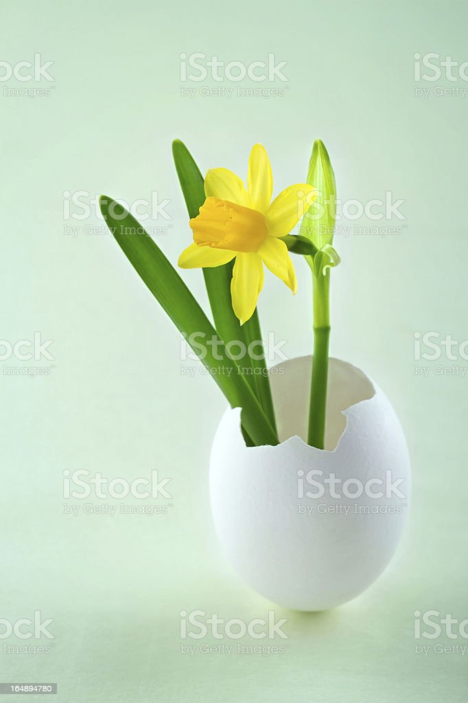 Narcissus in a white egg shell royalty-free stock photo
