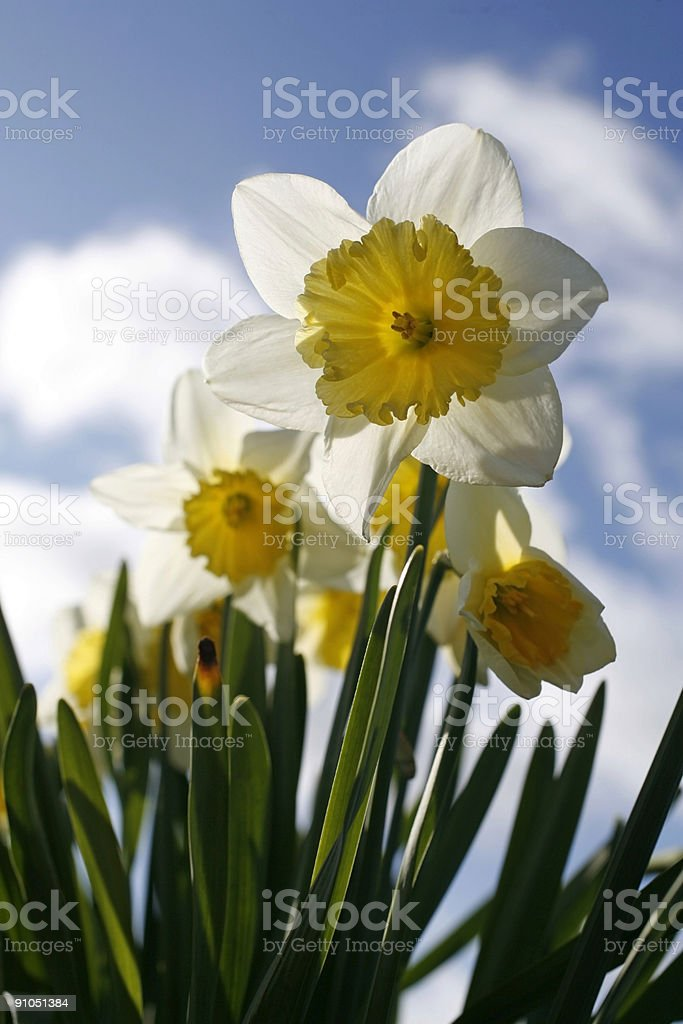 narcissus in full bloom against a blue sky royalty-free stock photo