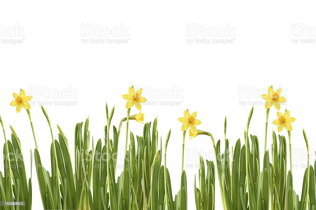 narcissus in spring royalty-free stock photo
