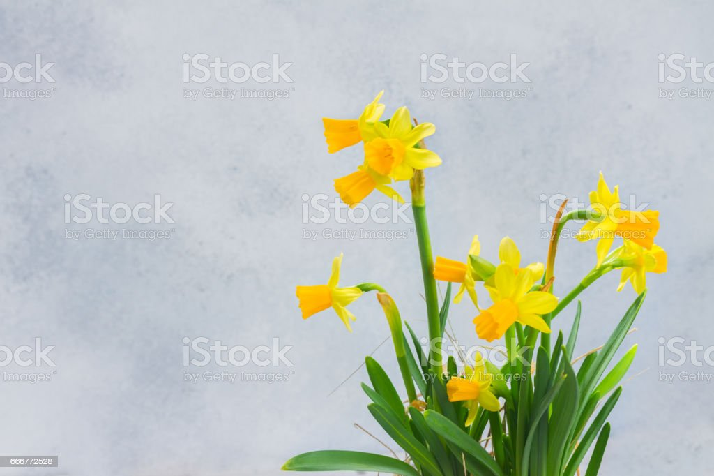 Narcissus in vase foto stock royalty-free