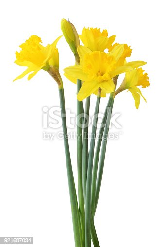Narcissus (Narzissen, Narcissus, Amaryllidaceae) isolated on white background, inclusive clipping path. Germany