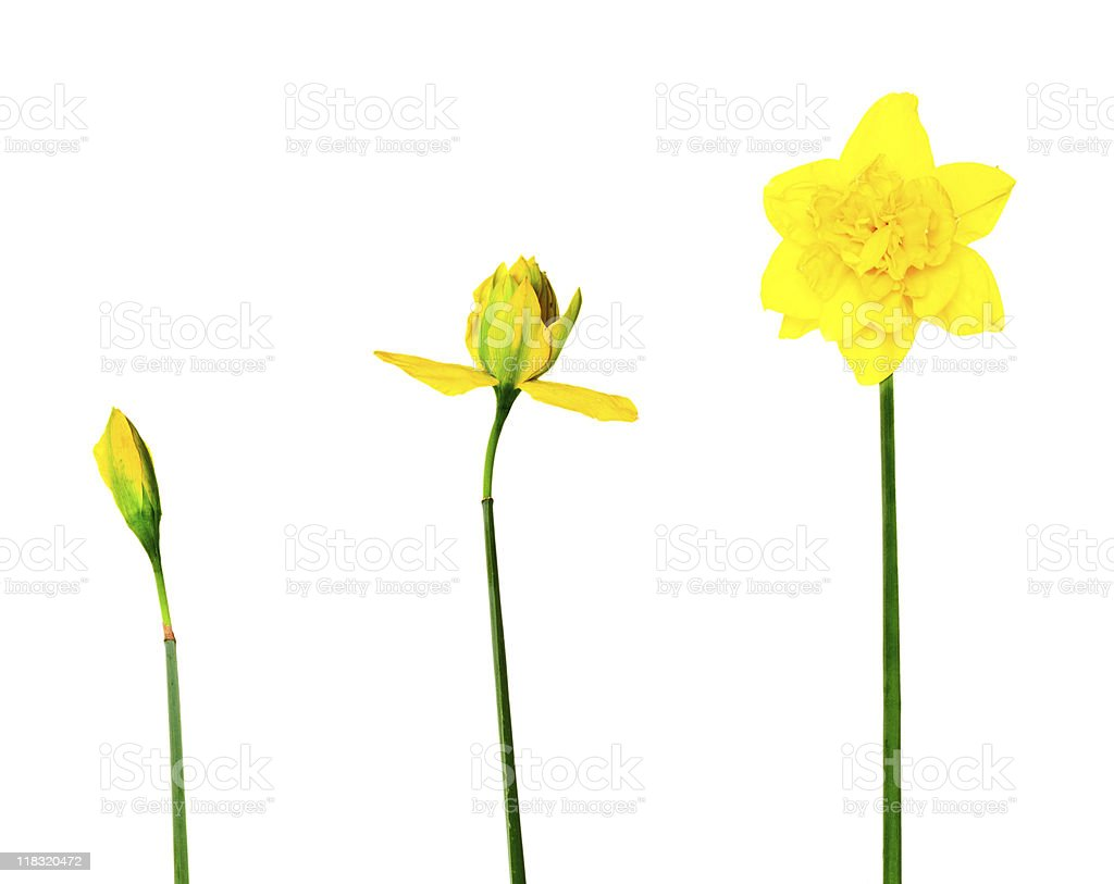narcissus on white background royalty-free stock photo