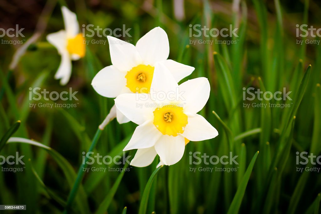 narcissus royalty-free stock photo