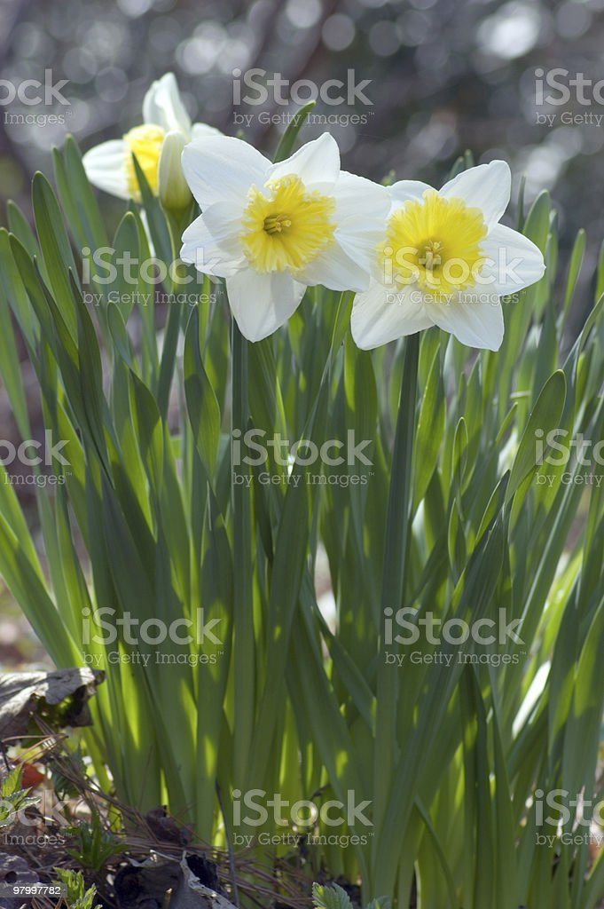 narcissus royalty free stockfoto
