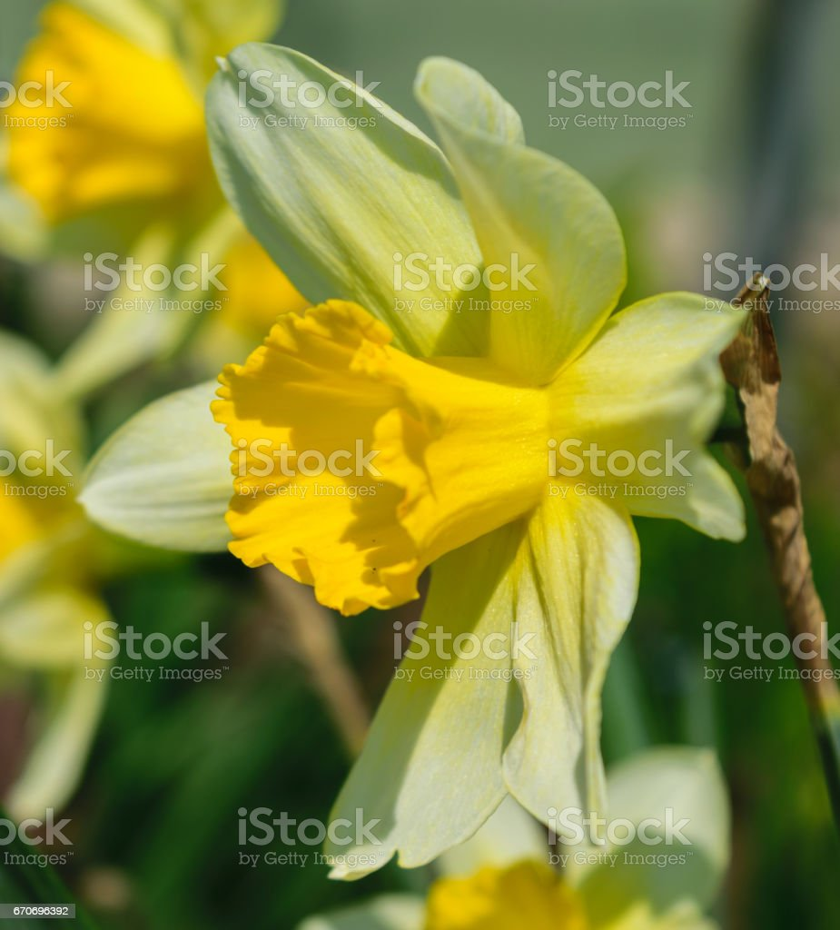 Narcissus pseudonarcissus commonly known as wild daffodil or Lent lily - detail stock photo