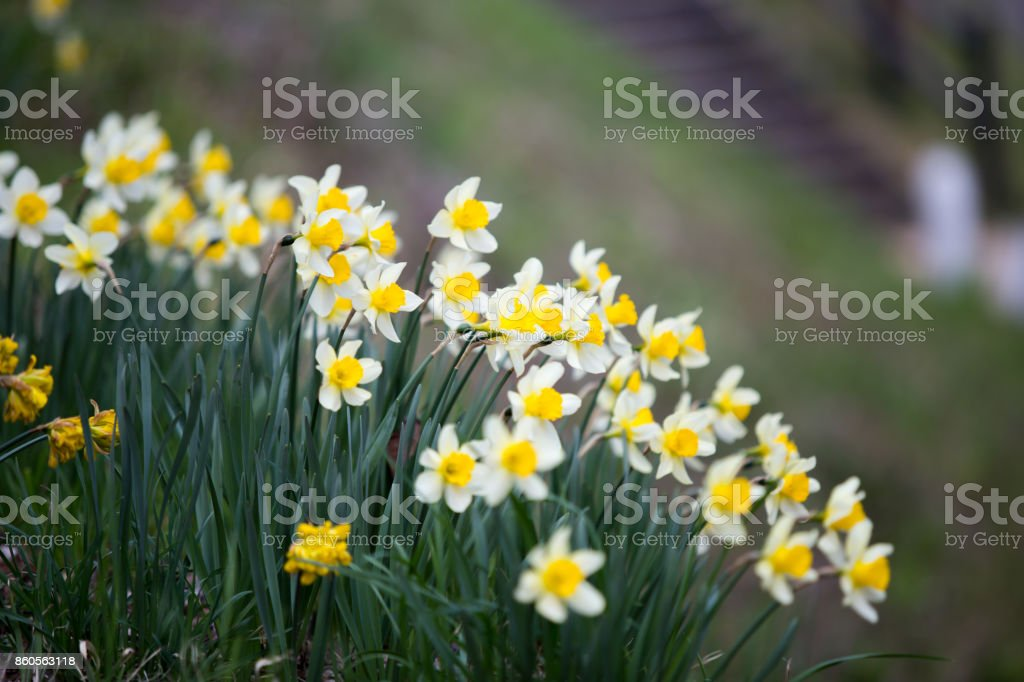 Narcissus pseudonarcissus commonly stock photo