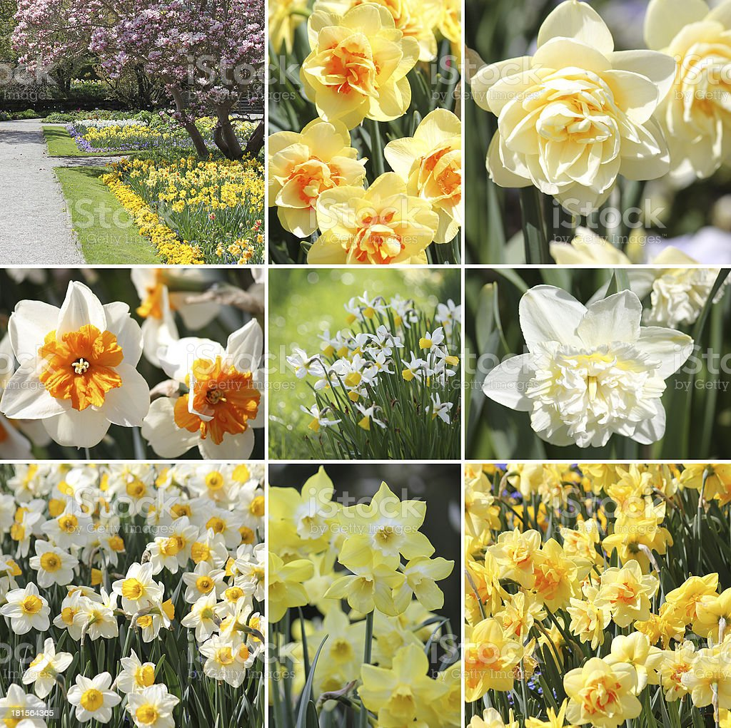 Narcissus spring collage stock photo