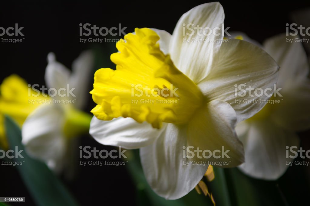Narcissus Spring Yellowwhite Flower Stock Photo More Pictures Of