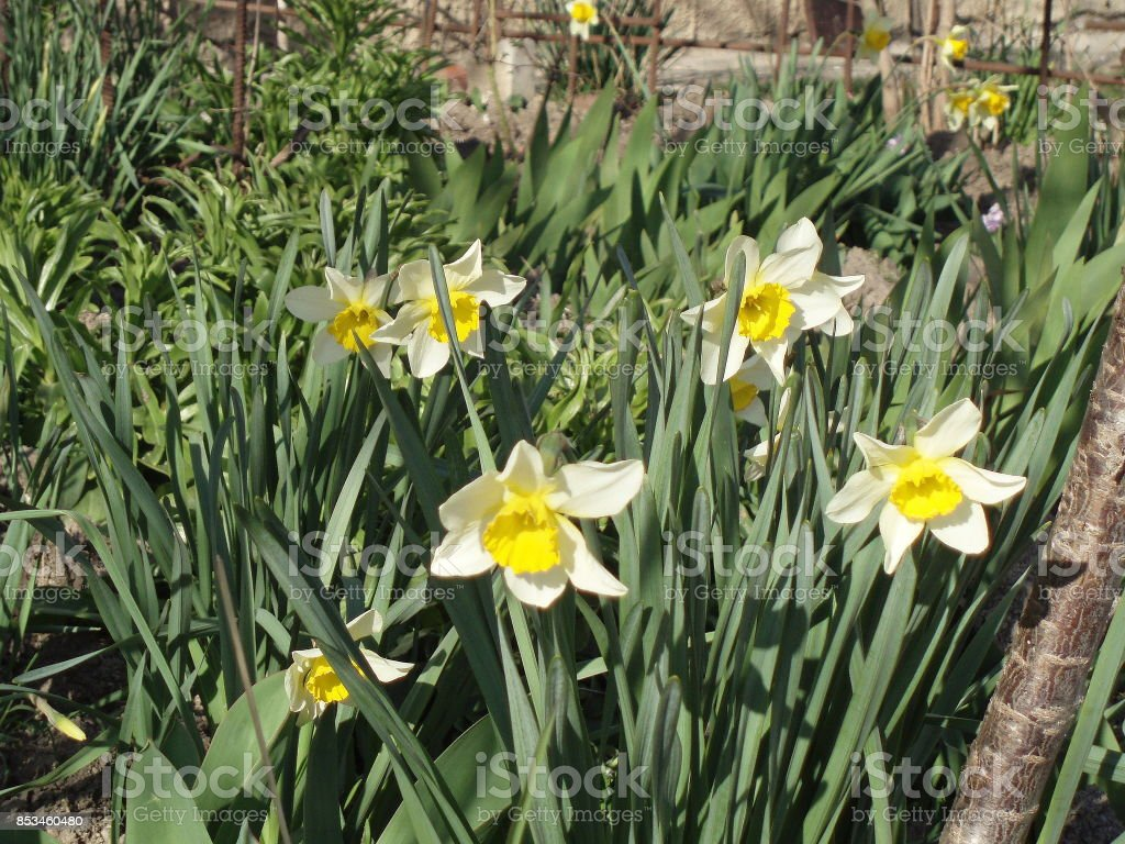 Narcissus. Sunlit 'Topolino' daffodils in a spring garden. stock photo