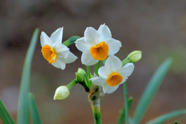 Narcissus tazetta / Papierweißer Narziss – Foto