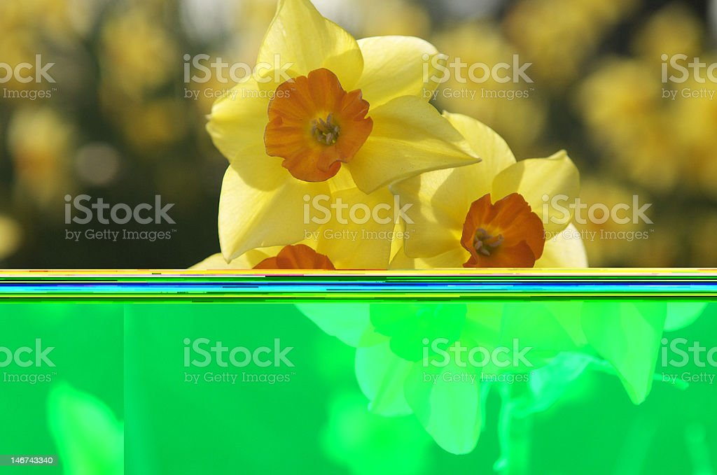 Narcissus, the Spring-flowering Daffodil with yellow petals royalty-free stock photo