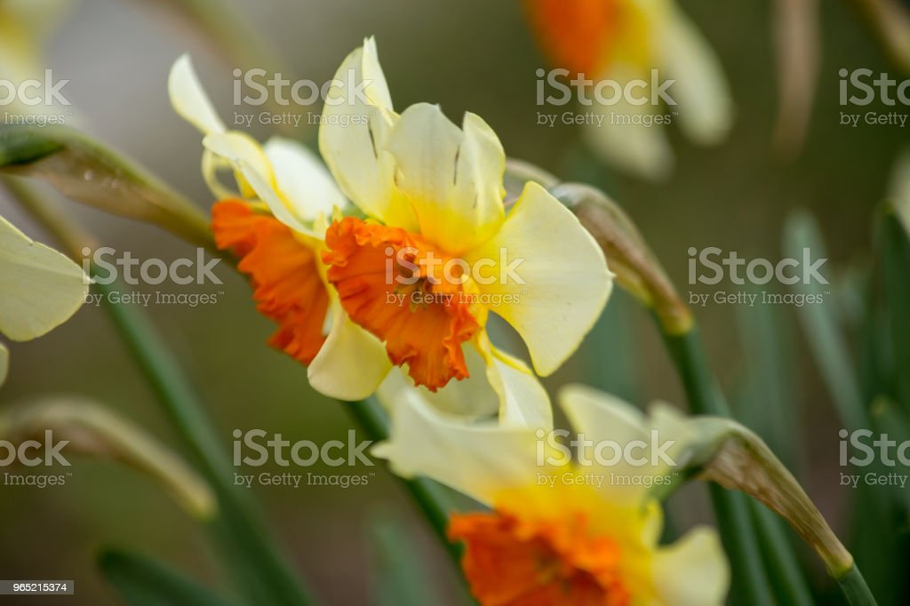 Narcissus white yellow flower macro for nature background royalty-free stock photo