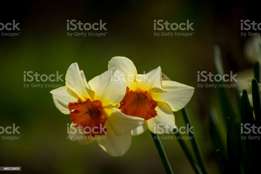 Narcissus white yellow flower macro for nature background zbiór zdjęć royalty-free